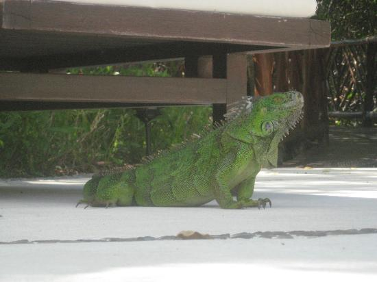 Occidental Grand Cozumel : An iguana at the quiet pool.