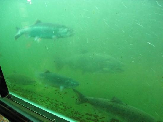 Hiram M. Chittenden Locks: Salmon making their way up the locks