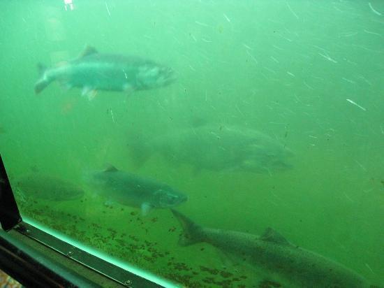 Hiram M. Chittenden Locks: Salmon making their way up the locks 