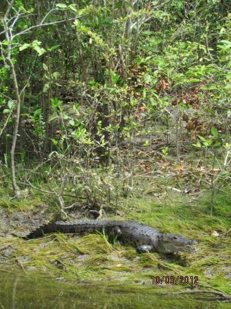 Crocodile seen on Mayan Ruins river cruise tour arranged by Caye Casa