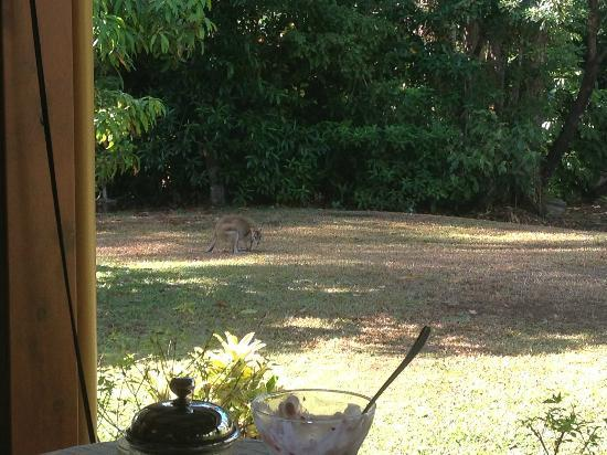 Hibiscus Lodge: Breakfast with the wallabies