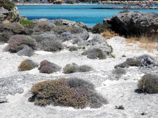 Strand von Elafonissi: erbe profumate