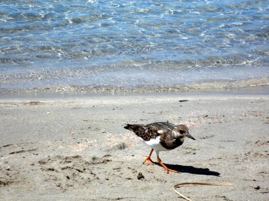 Strand von Elafonissi: gli uccellini da compagnia