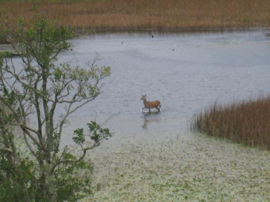 Joyce's Ireland Hiking Tours: Red Deer outside my window at the Lake Hotel, Killarney