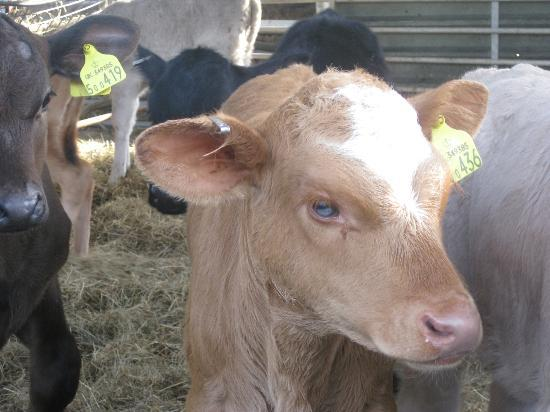 Shave Farm: Calves on the farm from the Dairy Cows