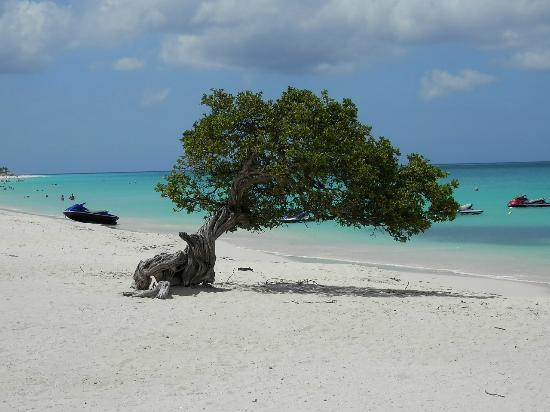 Hotel Riu Palace Aruba: Divi tree on Eagle Beach