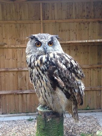 Telford, UK: Amazing Owl