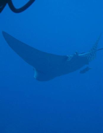 Presidente Inter-Continental Cozumel Resort & Spa: ScubaDu Spotted Eagle Ray