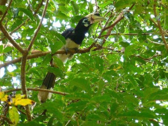 Hornbill Hut: Hornbill bird