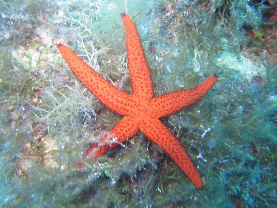 St. Andrew's Divers Cove: Starfish