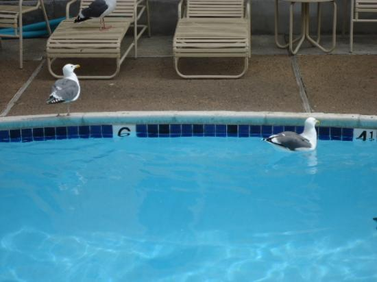 Best Western Carmel's Town House Lodge: WHAT? Seagulls in the pool, well this is by the Ocean...