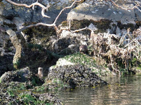 MacKaye Harbor Inn: Kayaking with River Otters