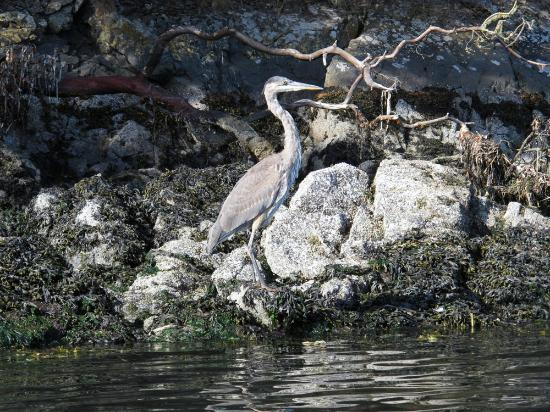 ‪‪MacKaye Harbor Inn‬: Kayaking with a Great Heron
