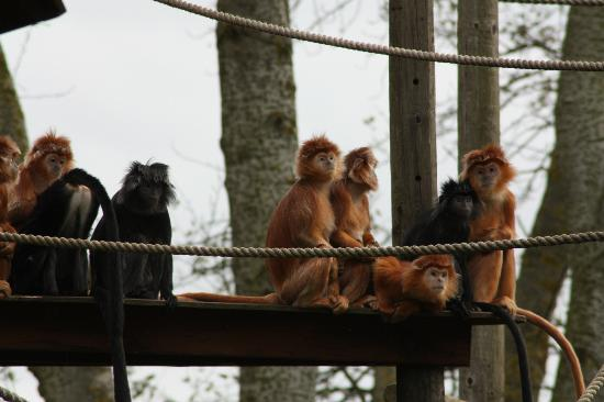 Canterbury, UK: JAVAN LANGUR
