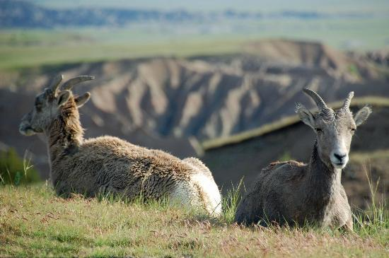 Sunshine Inn: Mountain goats in the nearby Badlands