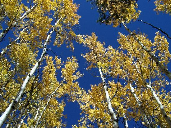 Cub Lake Trail: aspen grove