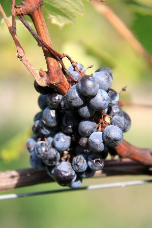 Tuscan Wine Tours by Grape Tours: grapes anyone?