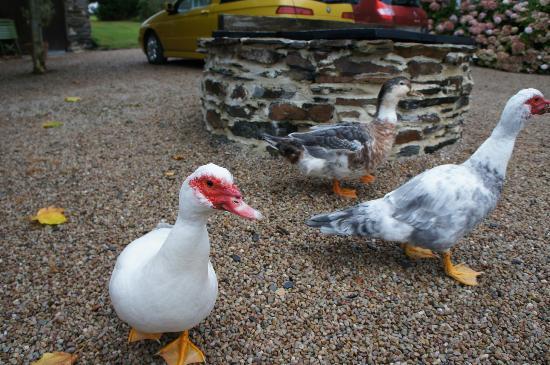 Le Manoir de Herouville: Ducks