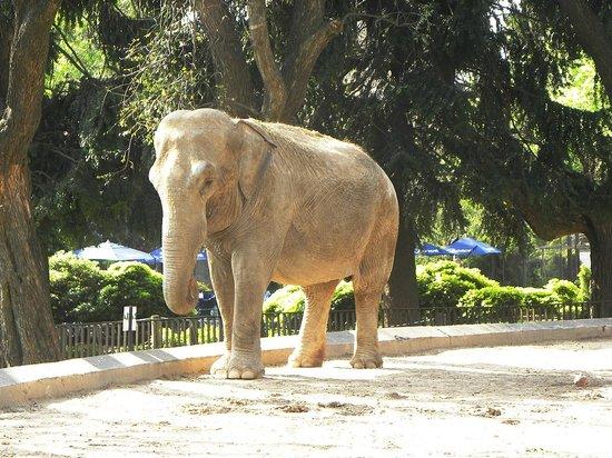 Zoo de Buenos Aires: Elefante africano