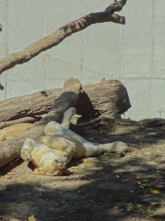 St. Louis Zoo: Lioness