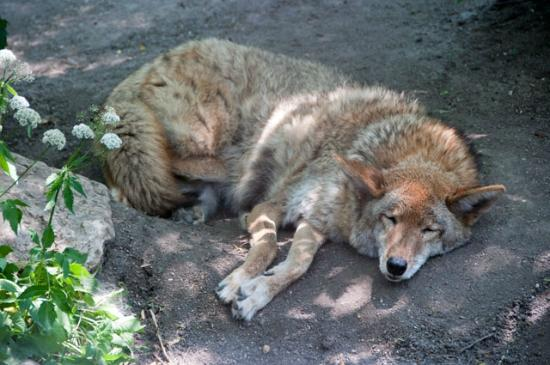 Coyote, Cosley Zoo, Wheaton, Illinois
