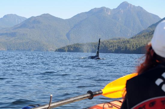 Spirit of the West Adventures: Male Killer Whale from our Kayak