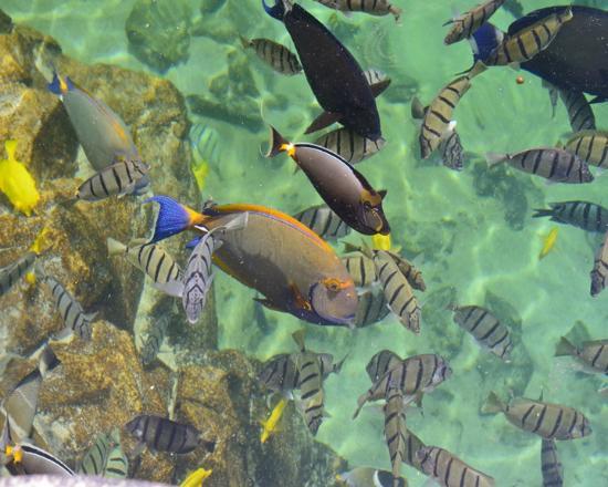 Four Seasons Resort Hualalai: Kings Pond / Tropical fish