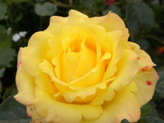 Glenorney by the Sea: One of Marie's beautiful roses.