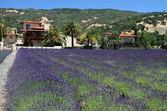 Ceago Estate Wines: lavender