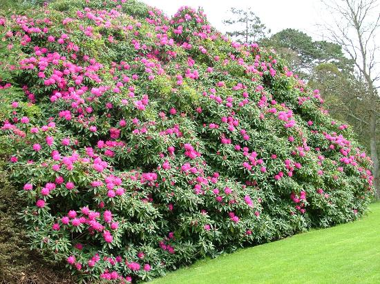 The rhododendron bush - Picture of Trelissick, Feock ...