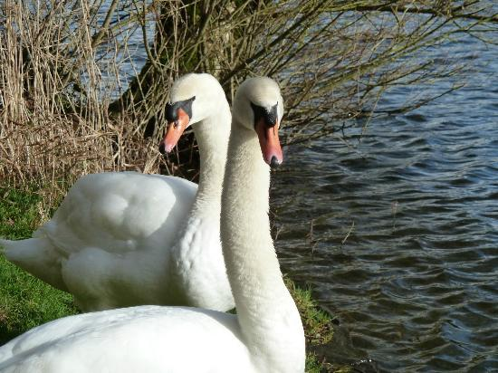 Swans at the lily ponds