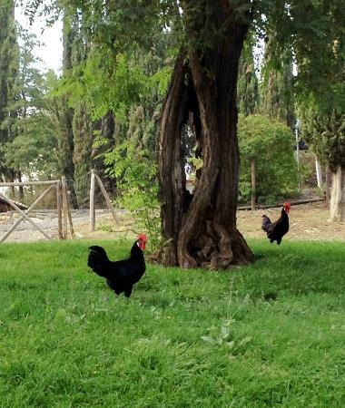 Fattoria Poggerino: a couple of the chickens on the grounds