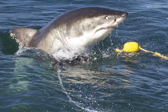 Photography Tours: Great White Shark visiting the tourists