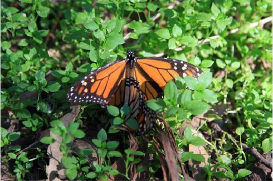 Goleta Butterfly