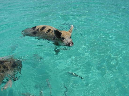 Staniel Cay Yacht Club: Piggy!