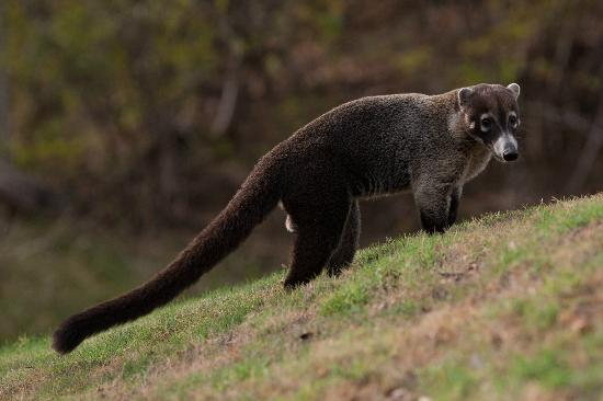 Four Seasons Resort Costa Rica at Peninsula Papagayo: White Nosed Coati on the golf course