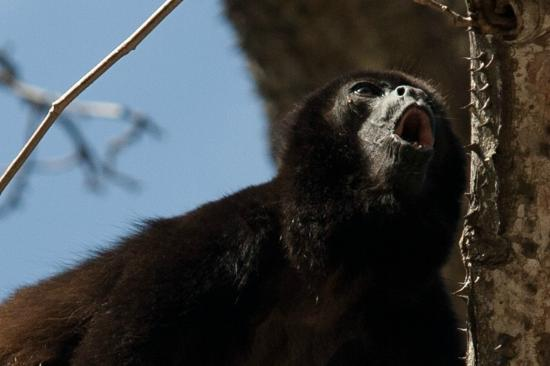 "Four Seasons Resort Costa Rica at Peninsula Papagayo: A Howler Monkey ""howling"""