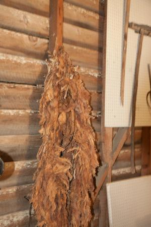 Lamplight Inn B&B: Real tobacco on the farm (it's dried already)