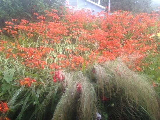 Ocean Cove Inn: pretty crocosmia in the fog