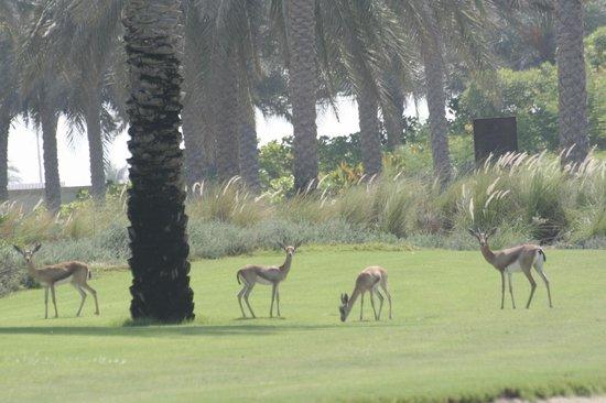 Saadiyat Beach Golf Club: gazelle on the practice area