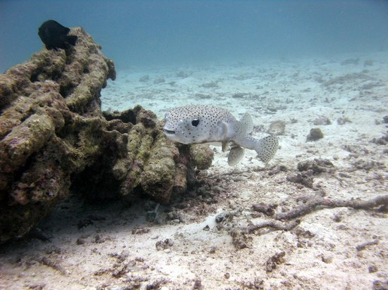 Phuket Dive Tours: Porcupine fish