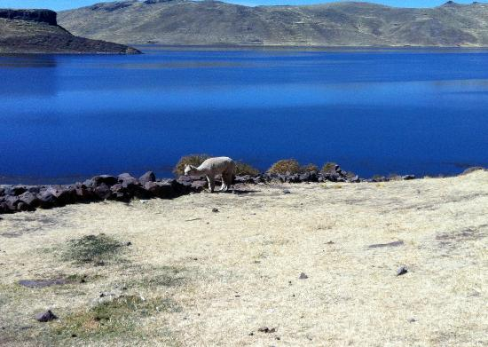 Sillustani: alpaca, such beautiful blue water