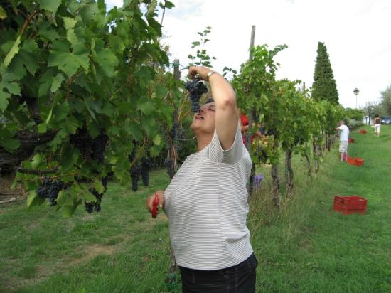 Il Fontanaro: Grape harvest
