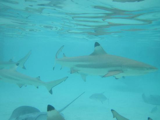 bagno con gli squali - picture of sofitel moorea ia ora beach resort