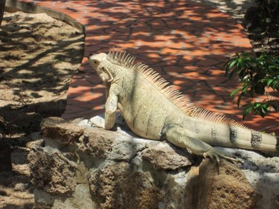 Palm Island Resort & Spa: George, the resident Iguana