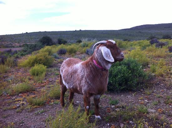 African Game Lodge: Mildred, the goat