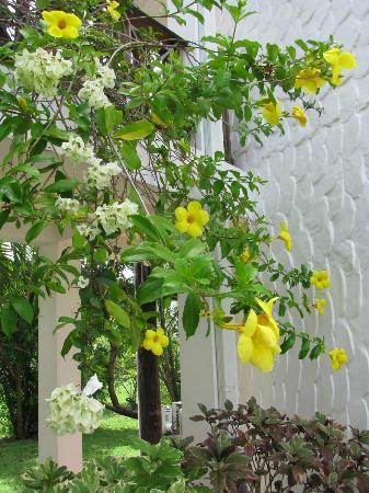 Climbing vine at Coyaba Beach Resort called Allamanda