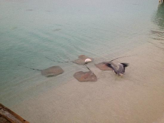 Kuramathi Island Resort: Stingrays