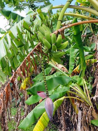 Maui Ocean Breezes: Banana