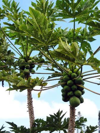 Maui Ocean Breezes: Papayas